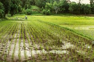 Campos de Arroz, Chiang Mai